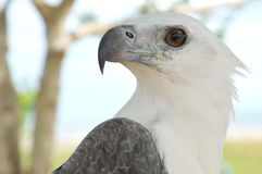 White eagle. Detailed of white eagle wings Royalty Free Stock Photography