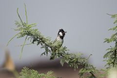 White-eared Bulbul Stock Photos