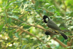 White-eared bulbul Royalty Free Stock Photo