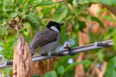 A White Eared Bulbul perches on a wire stock photography