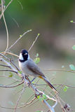 White-eared Bulbul Royalty Free Stock Images