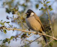 White Eared Bulbul (Pycnonotus Leucotis) Stock Photo