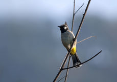 White Eared Bulbul (Pycnonotus leucotis) Royalty Free Stock Images
