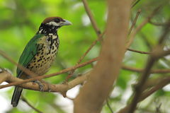 White-eared catbird. The white-eared catbird sitting on the branch Royalty Free Stock Image