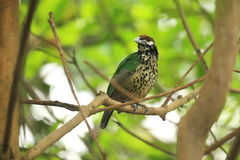 White-eared catbird Royalty Free Stock Photos