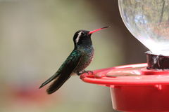 White-eared Hummingbird Royalty Free Stock Images