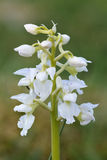White Early Purple Orchid Royalty Free Stock Photography
