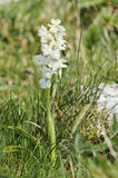 White Early Purple Orchid Royalty Free Stock Image