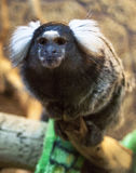 White ears marmoset (Callithrix aurita) Stock Photo