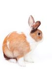 White Easter bunny. Easter bunny with a white fluffy wool with ginger spots isolated on white background Stock Images