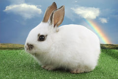 White Easter Bunny with blue sky and rainbow. White Easter Bunny on green carpet over a blue sky with rainbow Stock Photos
