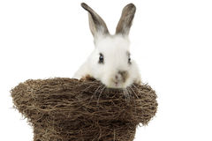 White Easter Bunny inside a nest Royalty Free Stock Image