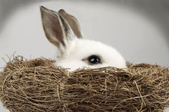 White Easter Bunny inside a nest. On grey background Stock Photo