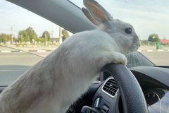 White Easter bunny rides to give gifts. Rabbit in the car at the driver`s seat behind the steering wheel. Hare driver.  stock image