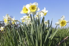 Outdoor Easter Lilies Stock Image