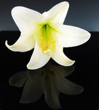 White Easty Lily Reflected on Black Stock Photos