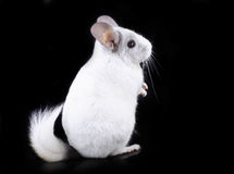 White ebonite chinchilla Royalty Free Stock Photo