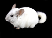White ebonite chinchilla Stock Photography