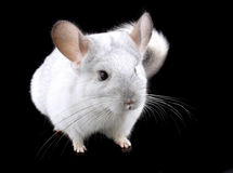 White ebonite chinchilla on black Royalty Free Stock Photography