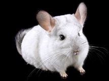 White ebonite chinchilla on black Royalty Free Stock Image