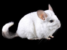 White ebonite chinchilla on black Stock Photo