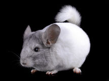 White ebonite chinchilla on black Royalty Free Stock Images