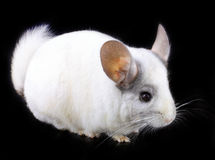 White ebonite chinchilla on black Stock Images