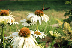 White Echinacea with butterfly Stock Image