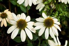 White echinacea Royalty Free Stock Image