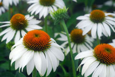 White Echinacea coneflower flower Stock Photo