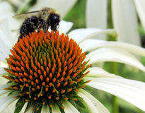 White Echinacea Flower and Bee Royalty Free Stock Photography
