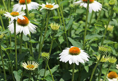 White echinacea flower Royalty Free Stock Photo