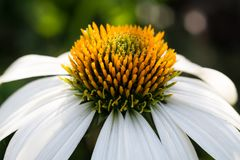 White echinacea flower with dew royalty free stock photography