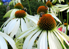 White Echinacea Flowers and Bees Stock Photos