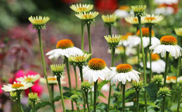 White echinacea flowers Stock Photography