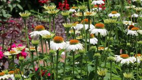 White echinacea flowers stock footage