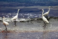 White egerts. In the Gulf of Mexico. Sanibel Island,Florida royalty free stock photography