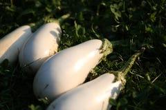 White eggplant Stock Photography
