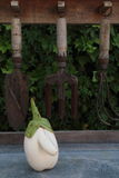 WHITE EGGPLANT WITH A BIG NOSE. LEFT SIDE VERTICAL IMAGE. RARE WHITE EGGPLANT, ORGANIC FARMING, WITH A BIG NOSE. THERE BACK GARDEN TOOLS AND BACKGROUND OF GREEN Royalty Free Stock Photography