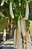 White eggplant in the garden. White eggplant growing in the garden Royalty Free Stock Images