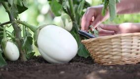 White eggplants, hands put basket in the vegetable garden stock footage