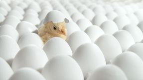 Free White Eggs And One Egg Hatches Stock Photos - 160129413