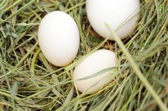 White eggs chicken, ducks, geese on fresh hay. Bird`s Nest. White eggs chicken, ducks, geese on fresh hay. Bird`s Nest royalty free stock images