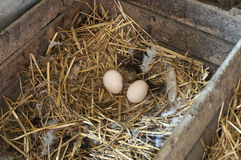 White eggs on hay Royalty Free Stock Photo