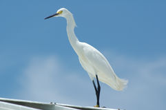 White Egret. Standing on white tin roof against a blue Florida sky Stock Photos