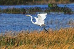 White Egret royalty free stock image