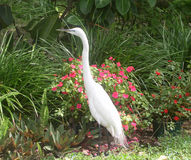 White Egret. Searching for its lunch in my flower garden stock images