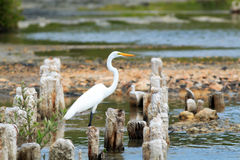 white egret Obraz Stock