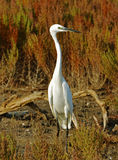 White egret. Portrait of white egret in the marsh Royalty Free Stock Images