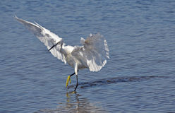 White egret. Dancing on the lake surface Stock Image